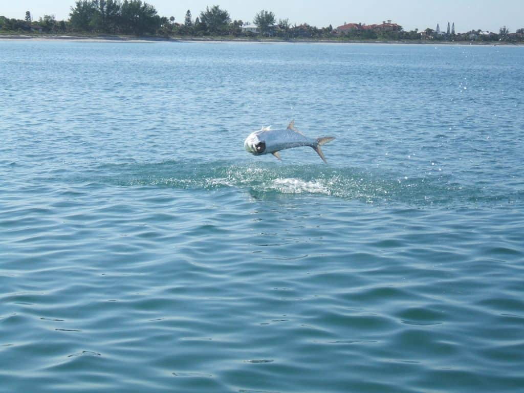 Sarasota tarpon fishing
