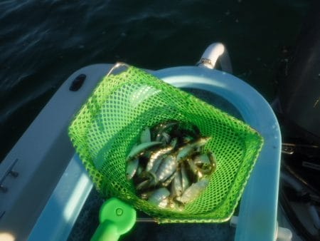 chumming with live bait