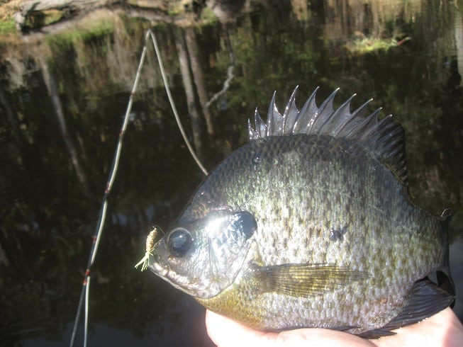 fishing for Florida panfish and crappie